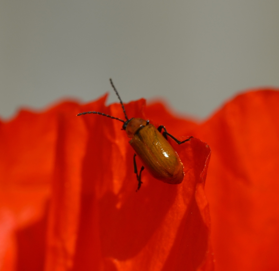 Käferharmonie