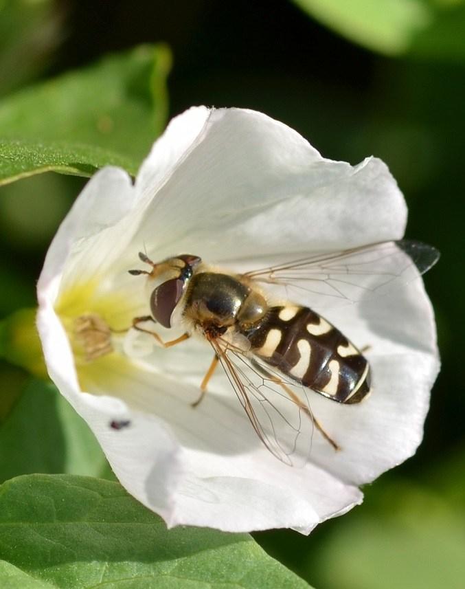 gewc3b6hnliche-wespenbiene.jpg