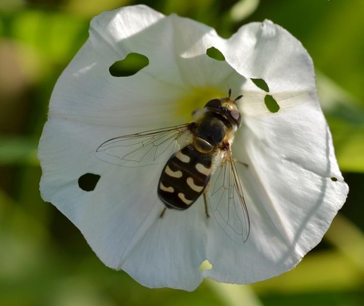 Gewöhnliche Wespenbiene2