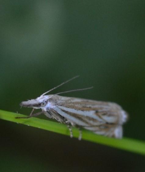Motte auf Schafgarbe2 (2)