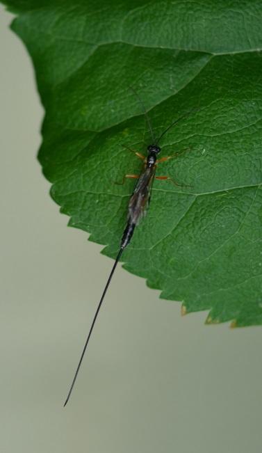 Parasitische Fliege
