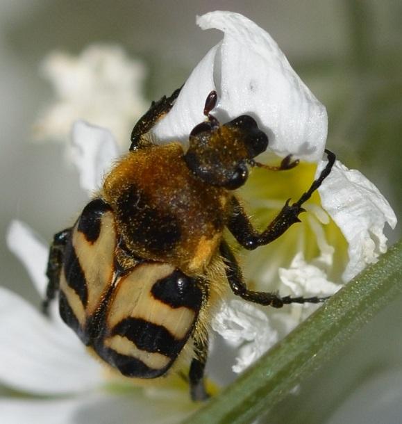 Trichius gallicus, 3