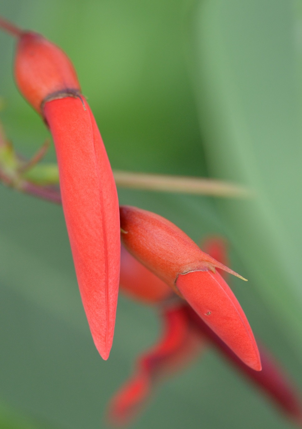 A7 Coral tree
