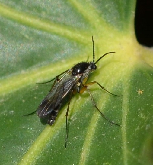 Keroplatidae, Platyura3neu