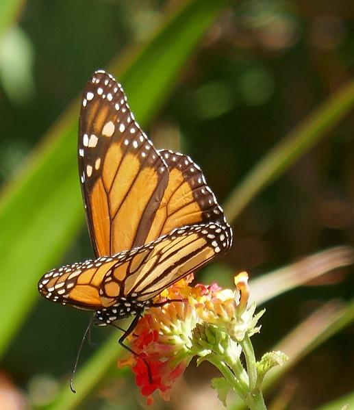 W_Monarch
