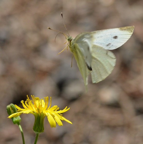 W_Achyrophorus rutea